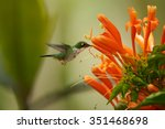 Small photo of Colorful Andean Emerald Amazilia franciae hummingbird feeding from cluster of Pyrostegia orange trumpet flowers. Green and yellow blurred background
