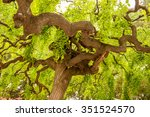 Crooked Tree Branches With...