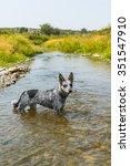 Blue Heeler Pup On A Rivers...