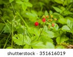 Fragaria Vesca L.   Commonly...