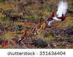 ptarmigan take off from the... | Shutterstock . vector #351636404