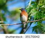 male bluebird | Shutterstock . vector #35170042