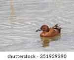 A Cinnamon Teal Duck Resting O...