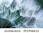 Dandelion In Morning Dew