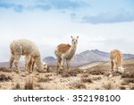 Lamas In Andes Mountains  Peru