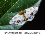 Small photo of Close up of Abraxas lugubris moth on green leaf in nature, flash fired