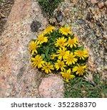 Small photo of tetraneuri acaulis widlflowers seen while hiking up mount evans, colorado