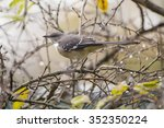 Northen Mockingbird Spotted In...