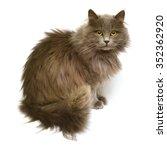 beautiful fluffy british cat...   Shutterstock . vector #352362920