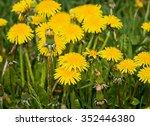 spring blooming dandelions | Shutterstock . vector #352446380