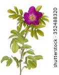 pink developed  briar rose on... | Shutterstock . vector #352488320