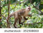 wedge capped capuchin  cebus... | Shutterstock . vector #352508003