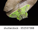 Small photo of Close up of Agathia codina moth on dried leaf in nature, flash fired