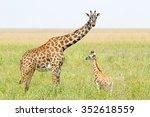 Stock photo a young giraffe and his mother giraffa camelopardalis in serengeti national park tanzania 352618559