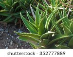 Leaves Of Medicinal Aloe Vera...
