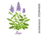 Flowering Sage. Sage Herb....