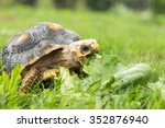 Red Footed Tortoise Snacking O...