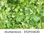 vegetable parsley at farmers... | Shutterstock . vector #352910630
