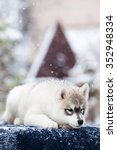 siberian husky puppy in the snow | Shutterstock . vector #352948334
