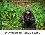 The Chimpanzee Bonobo In The...