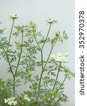 Small photo of Dog parsley; Aethusa; cynapium