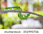 Mature Caterpillars Of Great...