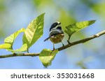 Small photo of Black-throated bushtit, The black-throated bushtit (Aegithalos concinnus), also known as the black-throated tit, is a very small passerine bird in the family Aegithalidae