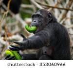 Chimpanzees Eat Vegetables....