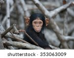 Portrait Of A Baby Chimpanzee....