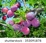 Ripe Plums On A Tree Branch In...
