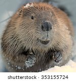 beaver close up | Shutterstock . vector #353155724