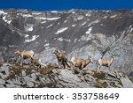 Wild Herd Of Big Horned Sheep...