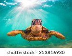 Hawaiian Green Sea Turtle...