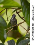 Small photo of Chestnut-rumped babbler male in the nature.