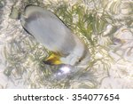 Small photo of ACANTHURUS TRIOSTEGUS, Convict surgeonfish. Indian Ocean near the Seychelles.