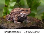 Common Toad On Moss Covered...