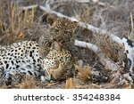 A Female Leopard Takes A Nap...