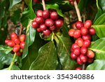 coffee beans ripening on a tree.   Shutterstock . vector #354340886