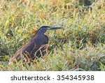 bare throated tiger heron... | Shutterstock . vector #354345938