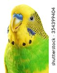Budgerigar. Parrot Isolated On...