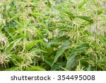 Nettle Thicket. Nettle Leaves...