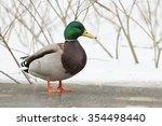 Mallard On The Frozen Lake