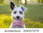 Stock photo sweet schnauzer dog with funny ears smiles and wears a bowtie 354557279