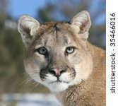 Close Up Of Mountain Lion