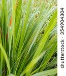 green lemongrass leaves... | Shutterstock . vector #354904304