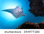 Small photo of Manta ray