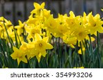 Flower Bed With Yellow Daffodi...