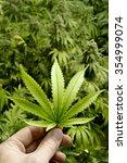 Hand Holding Marijuana Leaf...