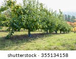 Quince Trees With Yellow Fruit...