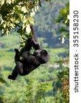 a baby mountain gorilla in a...   Shutterstock . vector #355158230